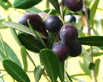 Olive-25 seed real olive-olea europea-olive tree