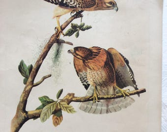 Vintage plate featuring The Red -Shouldered Hawk
