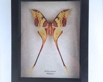Real Moth framed - Actias maenas