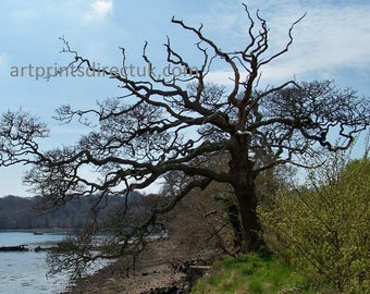 Old tree at Lawrenny