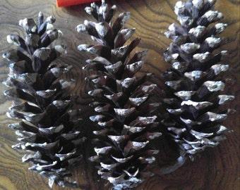Pine cones (white pine...Pinus strobus)