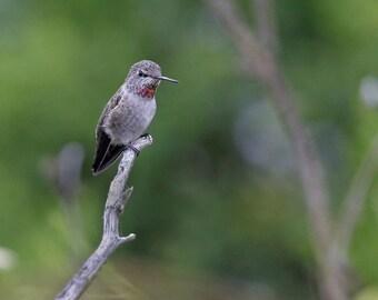 Female Annas Humming Bird