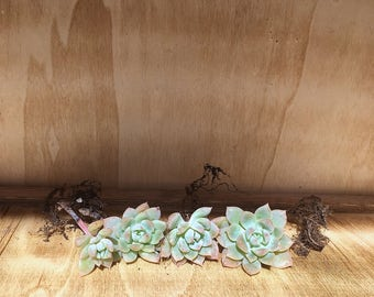 Succulent Plant Piece Cutting