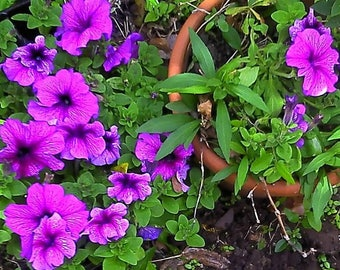 Petunias for You