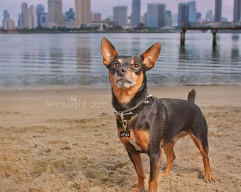 Large Dog Photography Metal Print of a MinPin in Coronado San Diego California