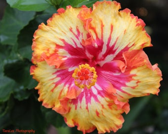 Multicolor Hibiscus