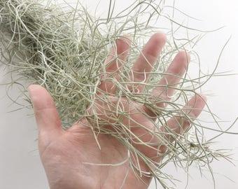 The Usneoides Air Plant - Spanish Moss - Tillandsia - Air Plant  - Airplant - Terrarium - Air Plants - Epiphyte - Plant - Modern - Home -