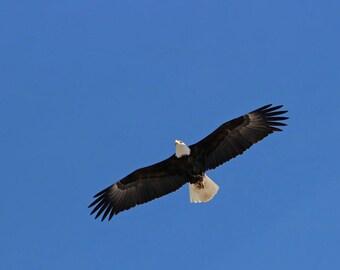 Bald Eagle in Flight - fine art photograph,nature,raptor,wildlife,American