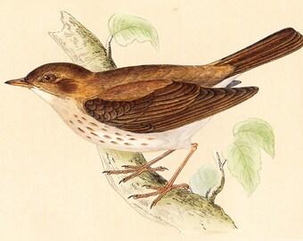 Antique Thrush Nightingale Print . original old vintage bird plate woodblock . vol III, dated 1853 art specimen illustration