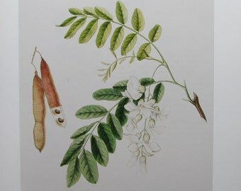 Common Locust Tree, Reproduction Color Plate, 9 x 12 in. Vintage Book Page, Unframed Bookplate, 1984 Botany Print