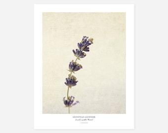 Munstead Lavender Original Art Print - Botanical Wall Art - Flower Poster - Large Botanical Print