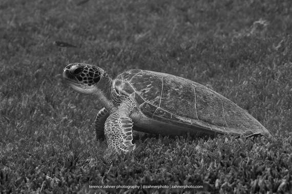Sea Turtle Art ~ Black & White Underwater Photography print of Turtle in Sea Grass