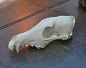 Beautiful Hand Made Coyote Skull Replica Top Skull