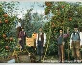 Apple Picking Orchard Farming Oregon 1910s postcard