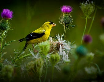 American GoldFinch Bird feeding on a Thistle in the Summertime in West Michigan No.3202 - a Fine Art Bird Photograph