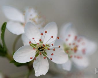 White floral print, Macro photography, Spring floral decor, Nature photography, Cherry blossom art, Delicate flower, Apple blossom print
