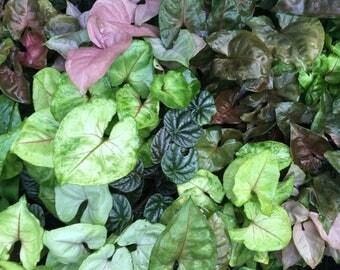 Terrarium plants bulk pack
