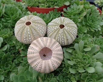 "Mexican Green Urchin 1.5""-2"""