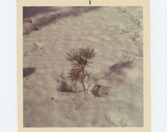 "Vintage Snapshot Photo: ""Darling Little Tree"" Mt. Pinos, 1969 (72548)"