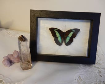 Real Framed Butterfly- Taxidermy- Home Decor