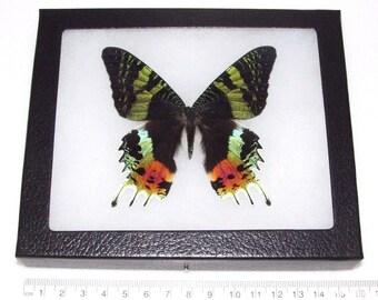 Real madagascar rainbow sunset moth Chrysiridia rhipheus recto framed butterfly insect