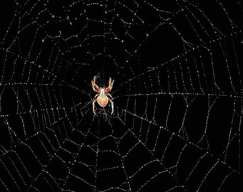 Large Brown Spider on Rain Covered Spider Web - Photo of an Orb Spider Against Black Sky Print