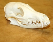 Glacier Wear Cleaned & Brightened Red Fox Skull