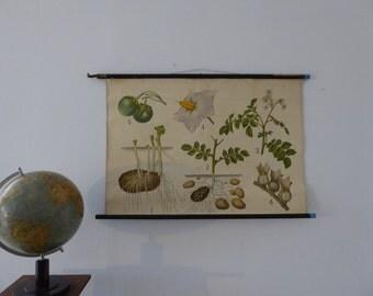 Authentique Antique Potato School Chart - Vintage Botanical Poster - Potato Plant Wall Hanging School Chart - Original 1920s