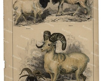 Animal Natural History original hand colored print of Sheeps and goats over 150 years old Rare find