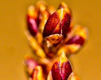 Forsythia Bud