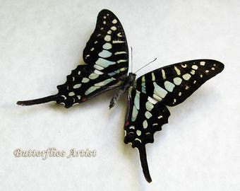 Small Striped Swordtail Graphium Policenes Real Butterfly In Shadowbox