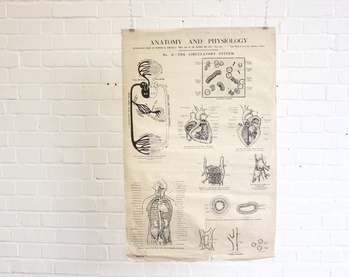 """Early 20th Century Anatomical Chart """"The Circulatory System"""""""