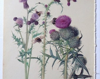 Thistles - Vintage Botanical Book Page - Country Diary of an Edwardian Lady - Edith Holden