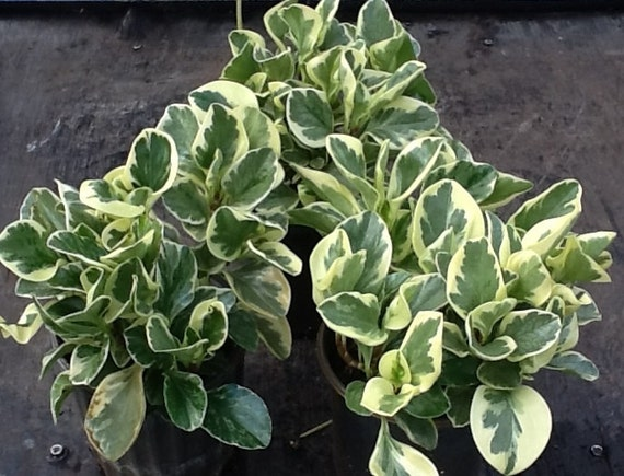 Peperomia Clusiifolia Jelly Plant Variegated White Green