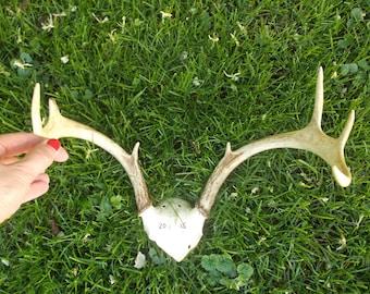 Set of Deer Antlers, 8 Point Buck Natural Deer Antlers for Projects, Pennsylvania Deer Antlers, Nice Rack!