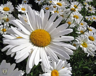 Flower Seeds - SHASTA DAISY