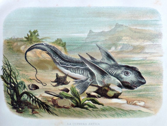 Chimaera print. Lampreys. Fish engraving. Antique illustration 135 years old. 1881 lithograph. 8'46 x 12'05 inches.