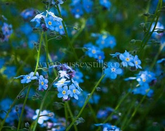 Forget-me-not Fine Art Photographic Greeting Card - Forget Me Not Flower Card - Forget Me Not Photo - Just Because Card - Thank You Card