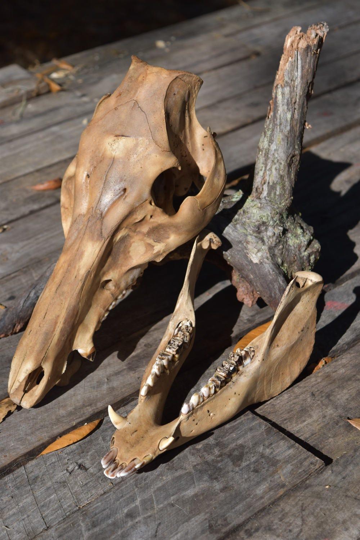 Boar Skull, Wild Boar skull whole, animal skull
