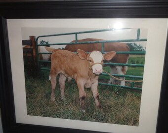 Small Cute Baby Hereford Calf Photo