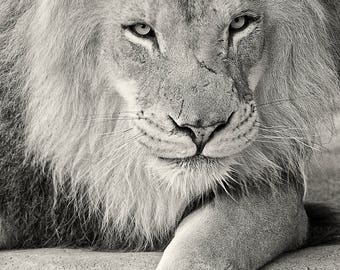 Black and White Lion Fine Art Print