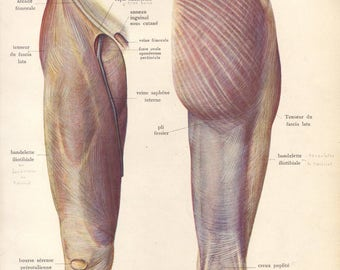 1905 leg muscles, tendons & ligaments print - Human anatomy, physiology, medical wall decor - 112 yr old victorian illustration (C576)