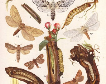 1919 butterflies & caterpillars insect print - Wall decor, moths, entomology, bugs - 98 years old antique lithograph illustration (C583)