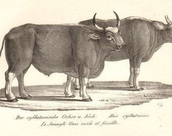 1800s Antique Ox Buffalo Print Brodtmann Lithograph