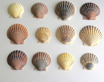 Multicolored Scallop Shells - Bulk Shells for Crafting and Home Decor