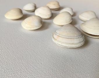 Whole Quahog/Clam Shells - Bulk Sea Shells for Crafting and Home Decor