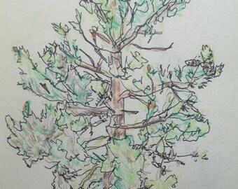 Limber Pine at Jaim and Nate's Cabin (near Choteau, Montana)