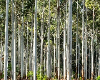 Forest Trees, Western Australia, Autumn
