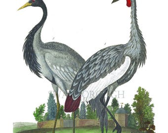 Numidian Crane Bird Print. Balearic Gray Crane Bird Print. Elegant Home Art. Home and Living Wall Decor. Slimbridge Bird Sanctuary