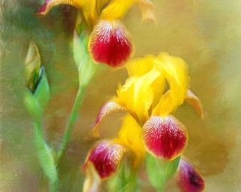 Bearded Iris Photograph Digital Art Flower Painting Floral Nature Yellow Red